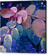 Snowbush Blue Acrylic Print