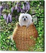 Snowdrop In A Basket Acrylic Print