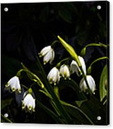 Snowdrops And Dark Background Acrylic Print