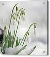 Snowdrops On Ice Acrylic Print