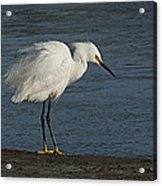 snowey Egret by Water's Edge Acrylic Print