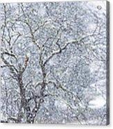 Snowfall And Apple Tree Acrylic Print
