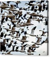 Snows Ross And Aleutians Acrylic Print