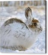 Snowshoe Hare In Winter Acrylic Print