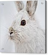 Snowshoe Hare Pictures 128 Acrylic Print