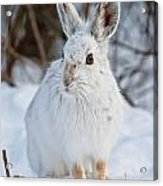 Snowshoe Hare Pictures 130 Acrylic Print