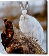 Snowshoe Hare Pictures 131 Acrylic Print
