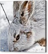 Snowshoe Hare Pictures 133 Acrylic Print