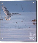 Snowy Coming In For Landing Acrylic Print