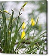 Snowy Daffodils Acrylic Print