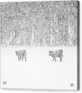 Snowy Day Highland Cattle Acrylic Print