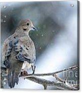 Snowy Dove Acrylic Print
