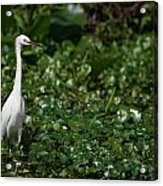 Snowy Egret 3 Acrylic Print