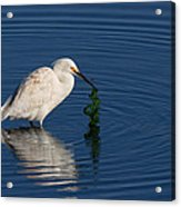 Snowy Egret Catches Sushi And Seaweed Acrylic Print