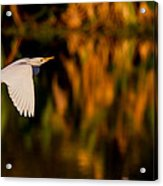 Snowy Egret Climbing Up To The Sky Acrylic Print by Andres Leon