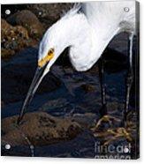 Snowy Egret Dribble Acrylic Print