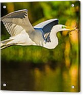 Snowy Egret Flying With A Branch Acrylic Print by Andres Leon