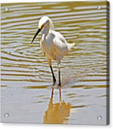 Snowy Egret Looking For Fish Acrylic Print