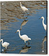 Snowy Egret Lunch Break Acrylic Print