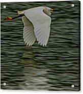 Snowy Egret On Estuary Acrylic Print