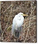 Snowy Egret On The Marsh Acrylic Print