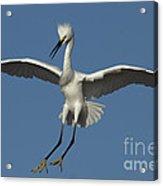 Snowy Egret Photo Acrylic Print
