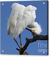 Snowy Egret Photograph Acrylic Print