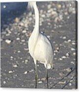 Snowy Egret Pose Acrylic Print