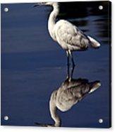 Snowy Egret Reflection  Acrylic Print