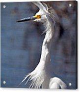 Snowy Egret Acrylic Print