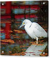 Snowy Egret Stalking His Lunch Acrylic Print