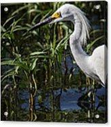 Snowy Egret Stalking Acrylic Print