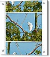 Snowy Egret Triptych Acrylic Print