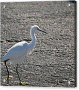 Snowy Egret Walk Acrylic Print