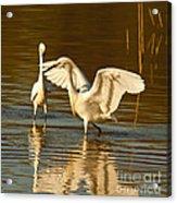Snowy Egret Wingspan Acrylic Print