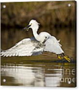 Snowy Egret With Lunch Acrylic Print