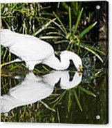 Snowy Egret With Reflection Acrylic Print