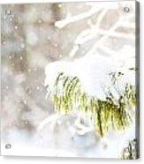 Snowy Evergreen Acrylic Print