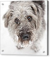 Snowy Faced Pup Acrylic Print