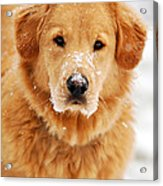 Snowy Golden Retriever Acrylic Print by Christina Rollo