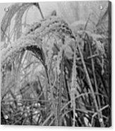 Snowy Grass Acrylic Print