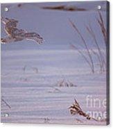 Snowy In Sunset Flight Acrylic Print