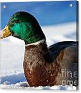Snowy Mallard Acrylic Print
