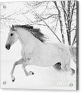 Snowy Mare Leaps Acrylic Print