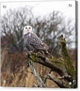 Snowy Owl At Boundary Bay  Acrylic Print