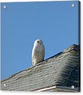 Snowy Owl Awaiting An Opportunity Acrylic Print