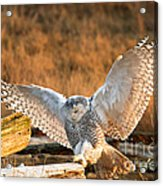 Snowy Owl - Bubo Scandiacus Acrylic Print by Michael Russell