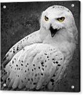Snowy Owl Calling Acrylic Print