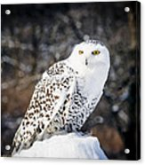 Snowy Owl Cold Stare Acrylic Print
