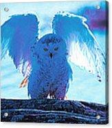 Snowy Owl Drying After Bath Acrylic Print